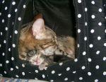 Кошеня мармурового бенгала