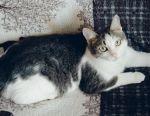 Молода кішечка - мугикаючи Шанель