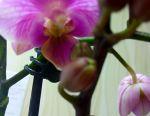 Orchid multiflora.