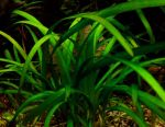 Aquarium Plant Sagittaria Subulata