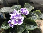 Violets (rooted, sheets and babies)