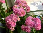 Kalanchoe with flowers (medicinal) in a pot. Exchange
