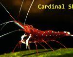 ΚΡΥΣΤΑΛΛΟ ΚΡΙΤΙΚΗΣ (Καρδινάλιος γαρίδα)