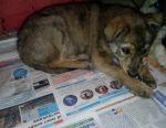 Shepherd puppies hybrid 2 months