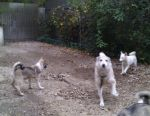 West Siberian Husky Puppies