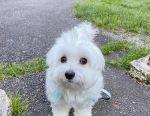 Healthy Maltese puppy