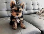 Усиновлення щенят Йорки на продаж