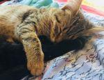 Котeнок. Британец