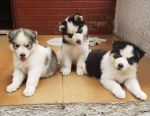 Beautiful Siberian husky puppies available