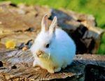 Pigme Tavşan