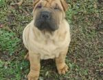 Shar pei and minippey puppies