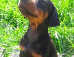Chic Doberman Puppies