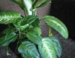 Dieffenbachia bush 2pcs each