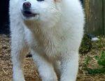 Κουτάβια Akita inu, ευτυχία στο σπίτι