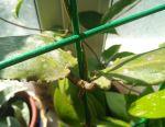 Hoya Undulata