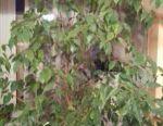 Flower Ficus Benjamin înălțime 1,3m