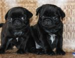 Pug puppies black from kennel