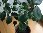 Цитрусовое растение - ЛИМОН в горшке. Обмен.