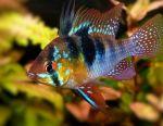 Aquarium Fish Apistogram Ramirezi