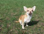 Chihuahua y / w boy