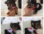 Женский щенок йорки доступен для принятия