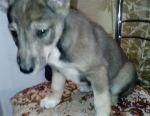 Husky puppies cross between 1 month and 2 weeks.