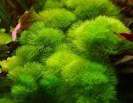 Aquarium plant Kabomba Aquatica