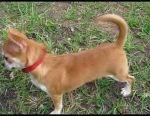 Chihuahua gsh redhead girl