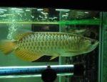 Premium quality Arowana Fish for sale
