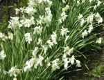 Sprouts of Narcissus