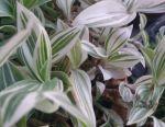 Традесканция белоцветковая