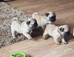 Super Cool Pug Puppies
