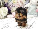 Teacup Yorkie Puppies Ready for sale