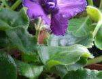 Violet înflorit în stoc