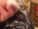Dzungarian hamsters