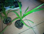 Pandanus floare