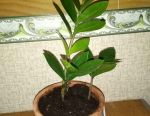 Доллоровое дерево