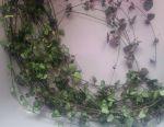 Tseropegiya și Sinadenium / Euphorbia