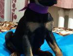Elite Puppies European Doberman