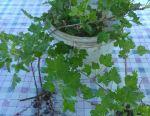 Saplings of gooseberry
