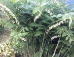 Купена (цілий сезон варто зелeного) багаторічна рослина