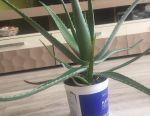 Aloe flower for sale