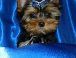 Yorkshire Terrier Boy-Zefirchik