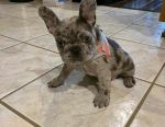 Beautiful french bulldogs looking for a new home