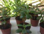 Pottery sprouts- money tree