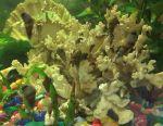 Грунтові акваріумні равлики