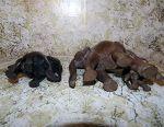 Black Mahogany Elephants India