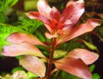 Aquarium plant Ludwig Natans bright red