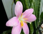 Floarea zefirantei