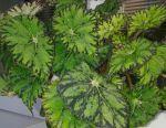 Begonia frunziș decorativ
